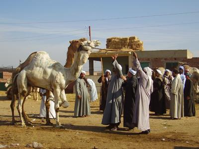 Mercado de camellos en El Cairo | © Eva Chaves