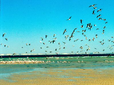 Aves en Dajla, Sáhara Occidental  (1998)     © Ilya U. Topper