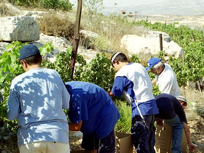 Vendimia en el asentamiento judío de Kedumim, Cisjordania (2001 | © Ilya U. Topper / M'Sur